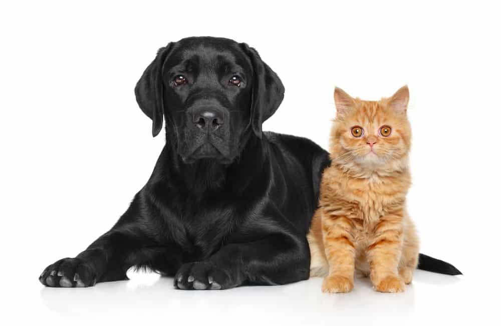 Black labrador and a cat on a white background