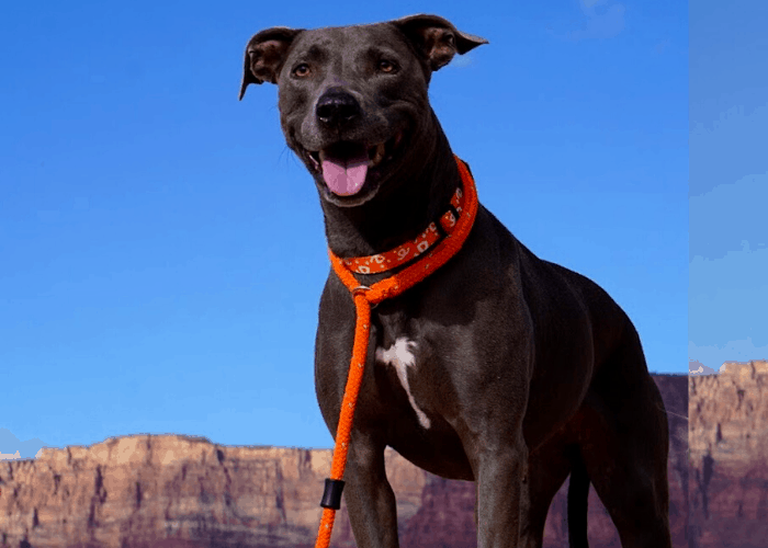 Blue Lacy dog standing on the hill