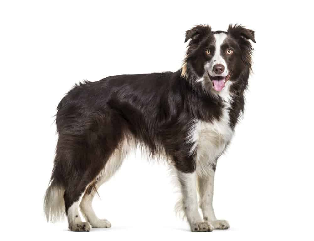Border Collie standing on white background