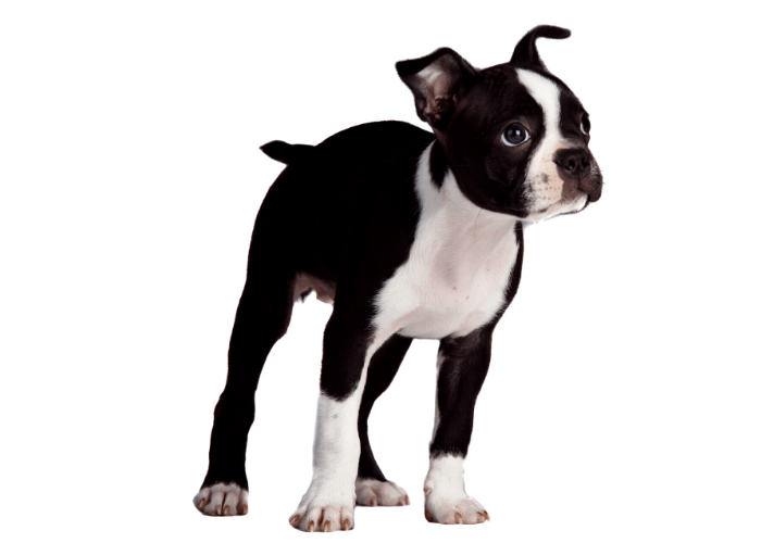 Boston terrier standing against a white background