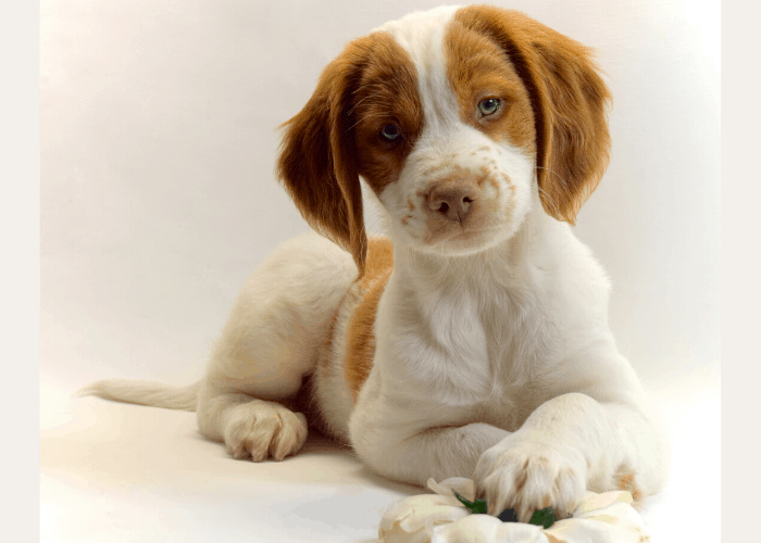 Brittany Dog playing with chew toys