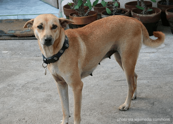 Brown Askal dog from Zambales, Philippines