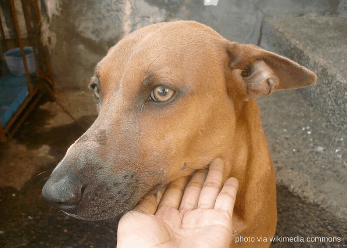 Brown Askal dog
