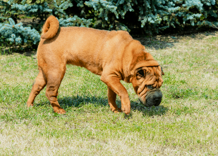 Meat mouth brush coat shar-pei
