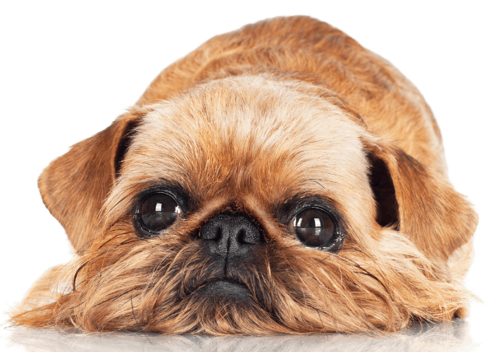 Brussels Griffon lying on the ground