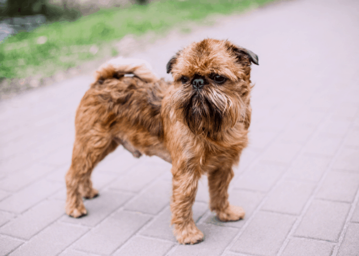 Brussels Griffon standing on the cemented ground