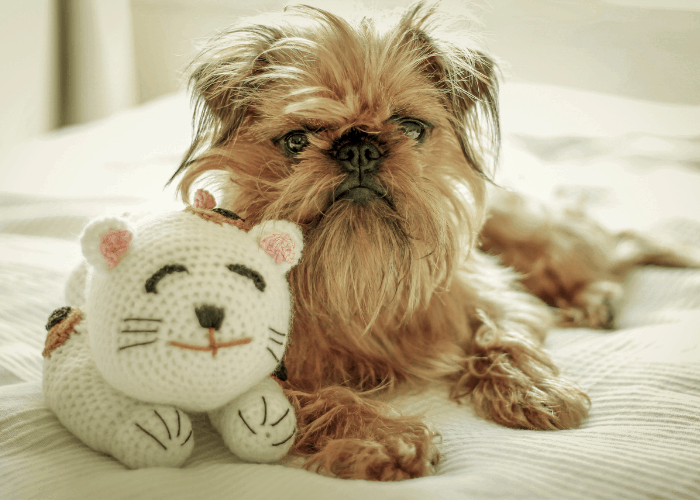 Brussels Griffon with a cat toy