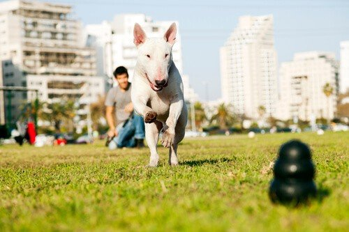 Bull Terrier fetching a Chew Toy in a Park