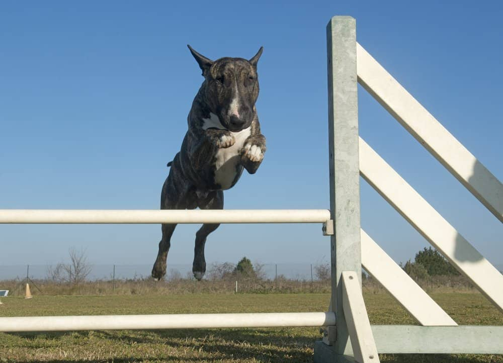 bull terrier training at the park