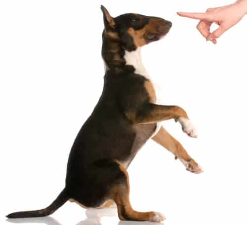 Bull terrier responding to a dog command