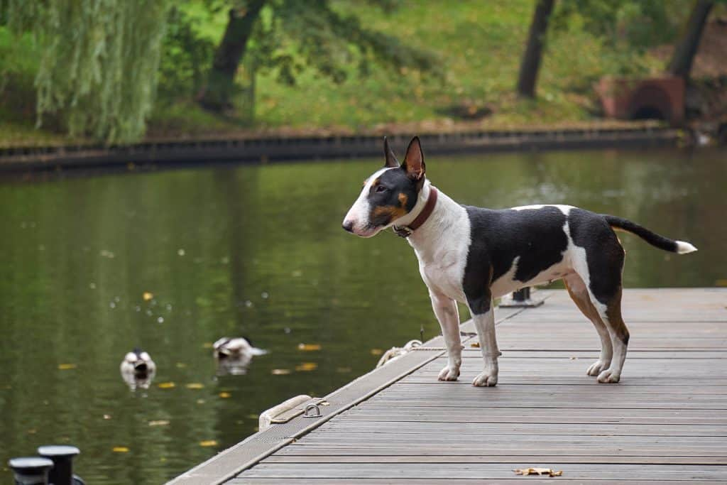 Bull terrier standing beside a lake