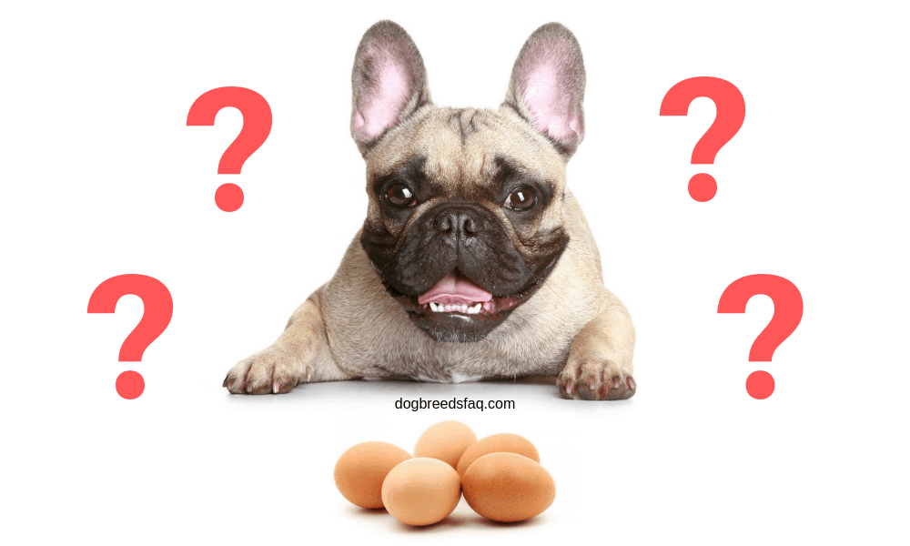 Can My French Bulldog Eat Eggs? 1