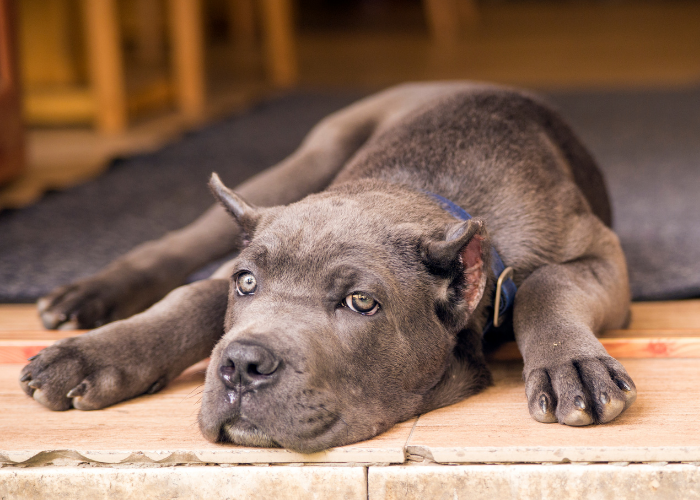 Cane Corso with cropped ear resting