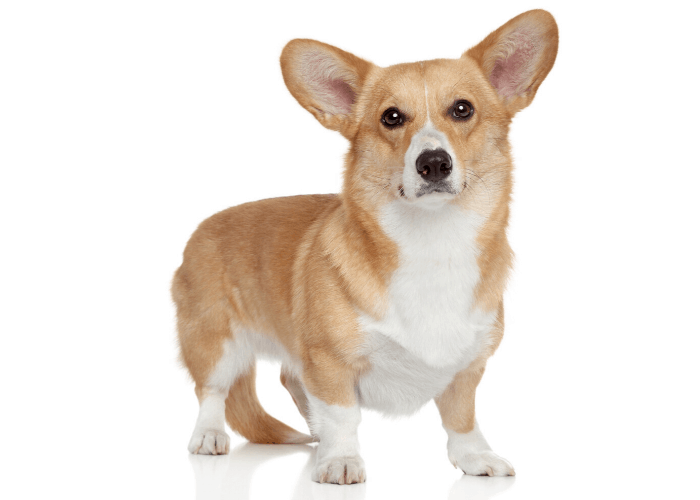 Cardigan Welsh Corgi photographed against a white background