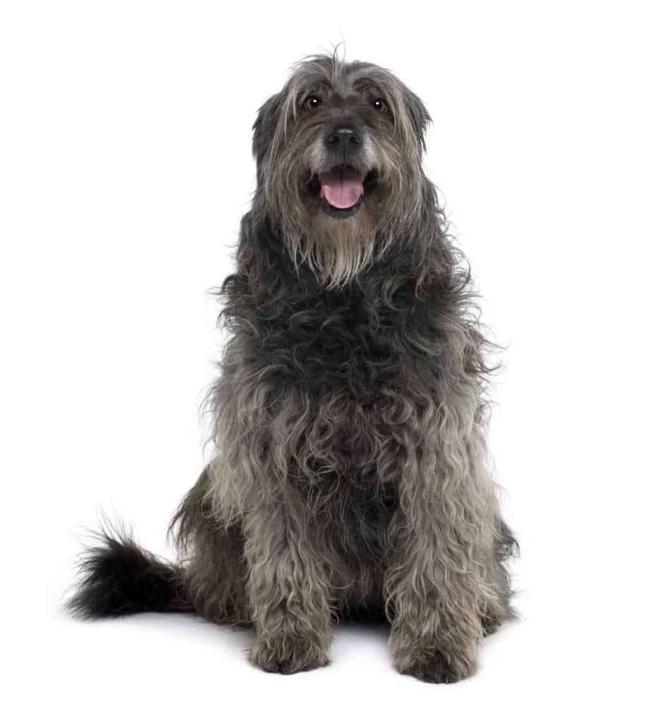 Catalan Sheepdog sitting against a white background