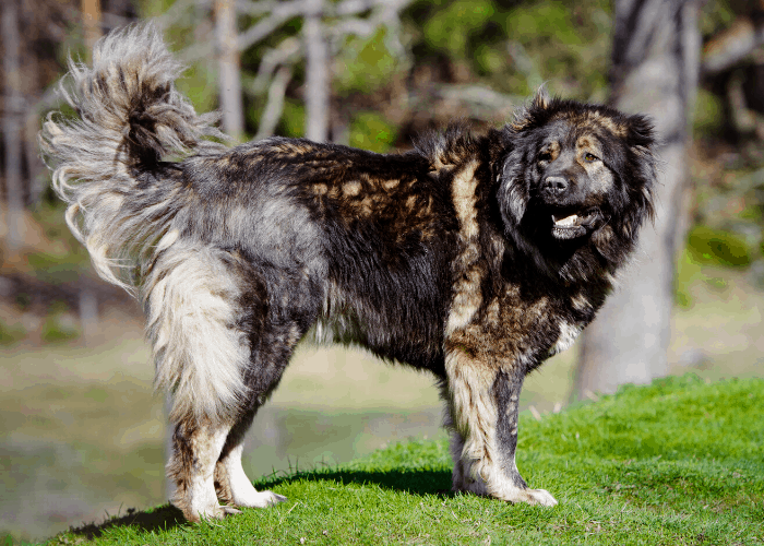 Caucasian Shepherd Dog standing on the lawn