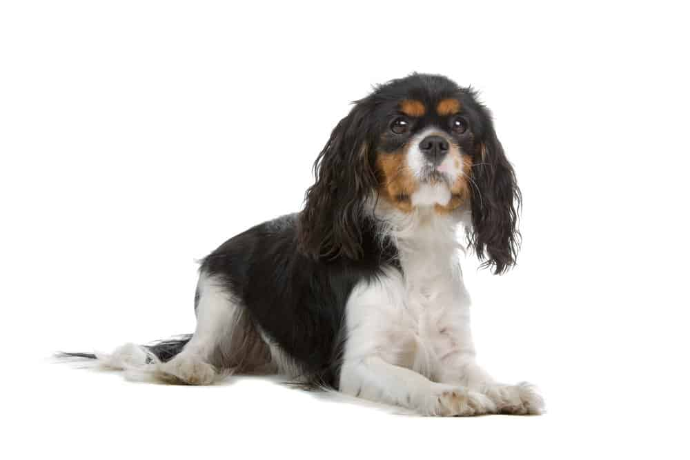 Cavalier King Charles spaniel lying on white background