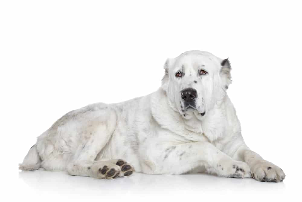Central Asian Shepherd Dog on white background