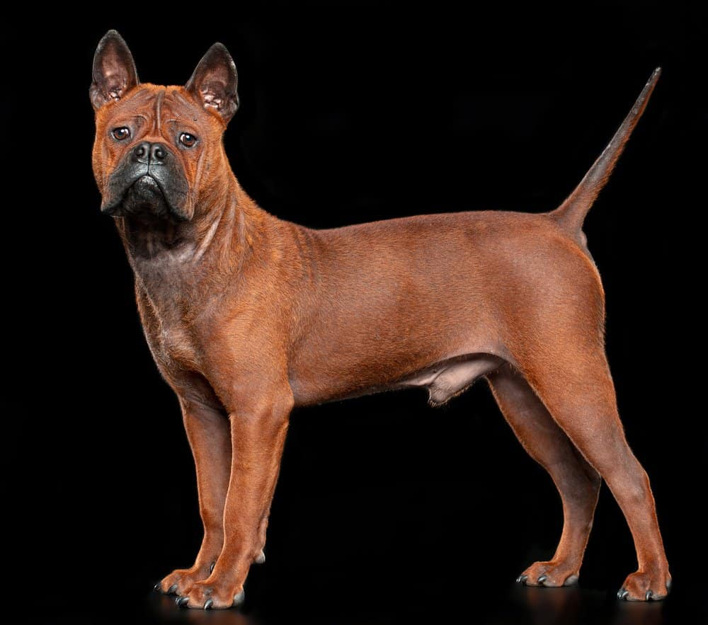 Chinese Chongqing Dog standing against a black background