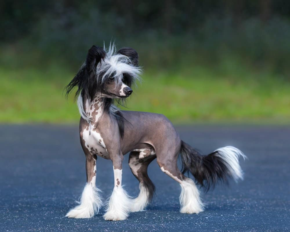 Chinese Crested Dog Breed standing on blue road