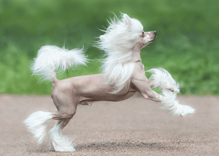 Chinese Crested dog running on the sand