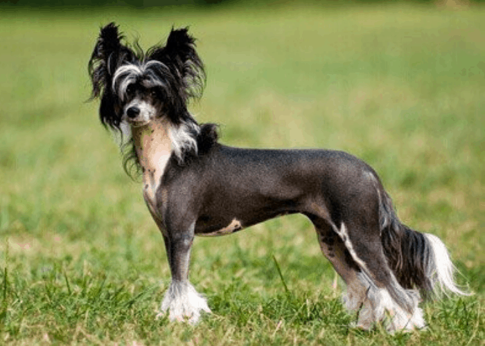 Chinese Crested dog standing on the grassy ground