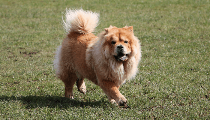 Chow chow running on the lawn