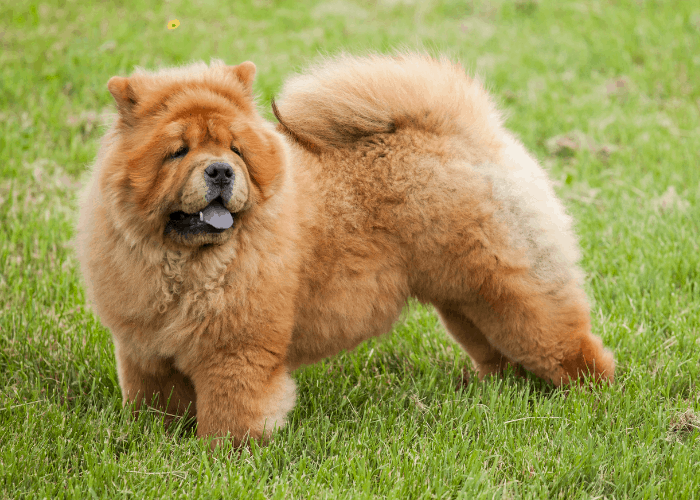 Chow chow standing on the lawn at the park