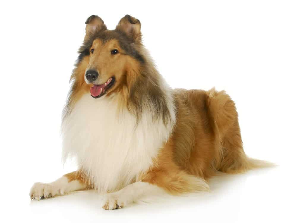 Collie dog breed photographed on white background