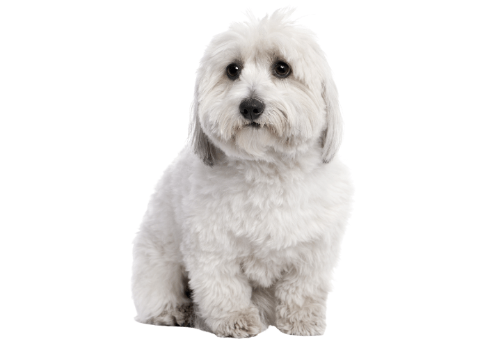 Coton de Tulear image against a white background