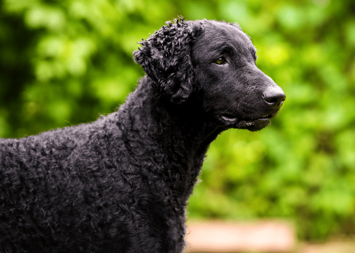 Curly Coated Retriever photo isolated against a green background