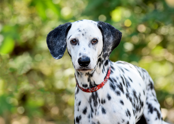 Dalmatian in the forest