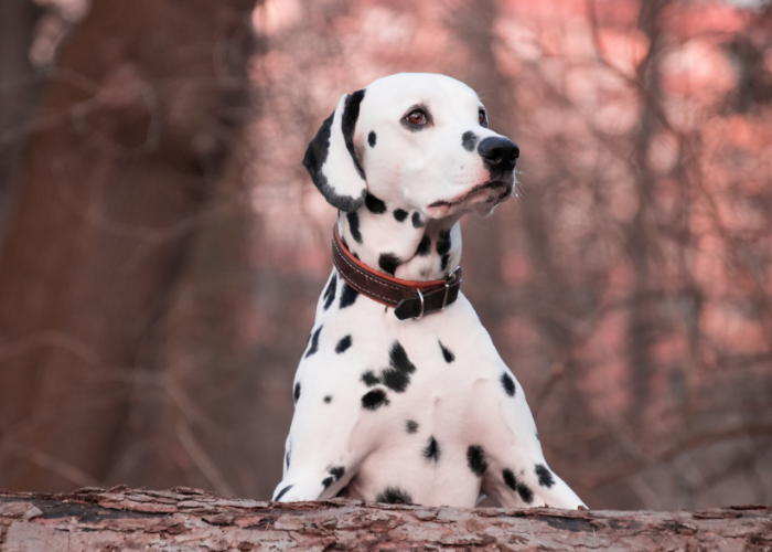 Dalmatian in the woods