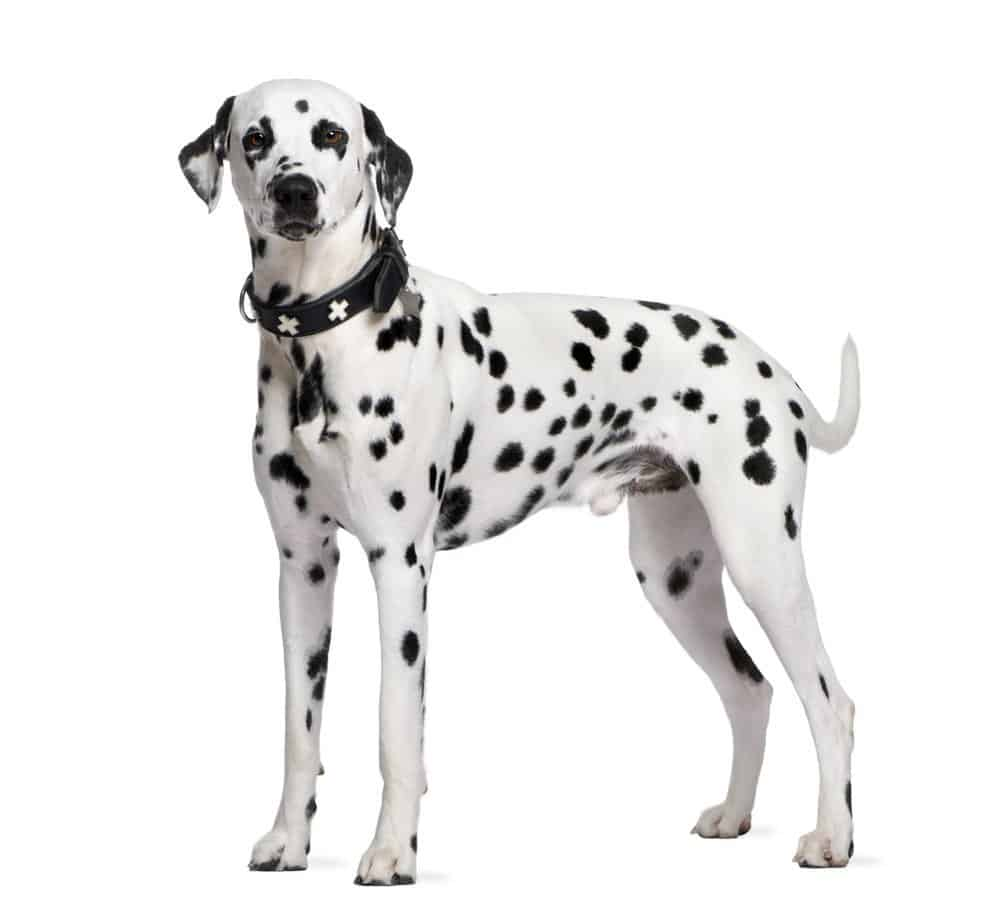 Dalmatian photographed against a white background