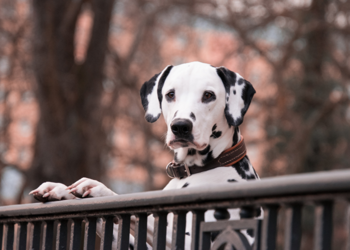 Dalmatians on the fence