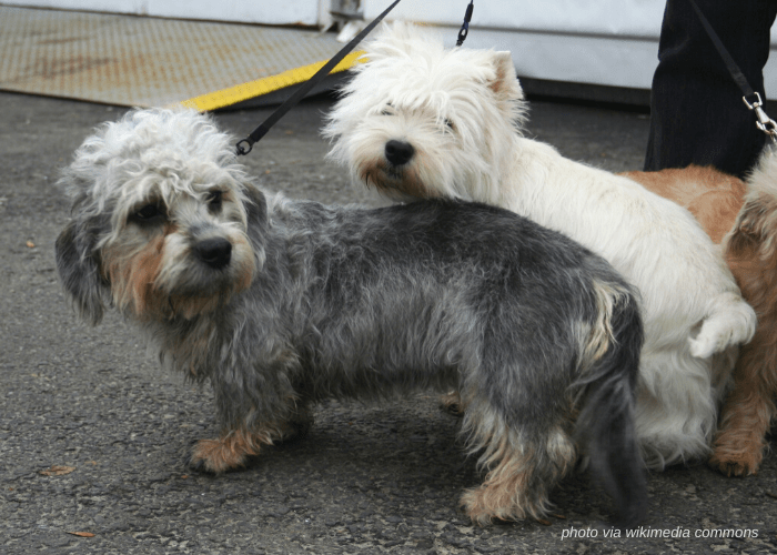 2 Dandie Dinmont Terrier dogs with their owner