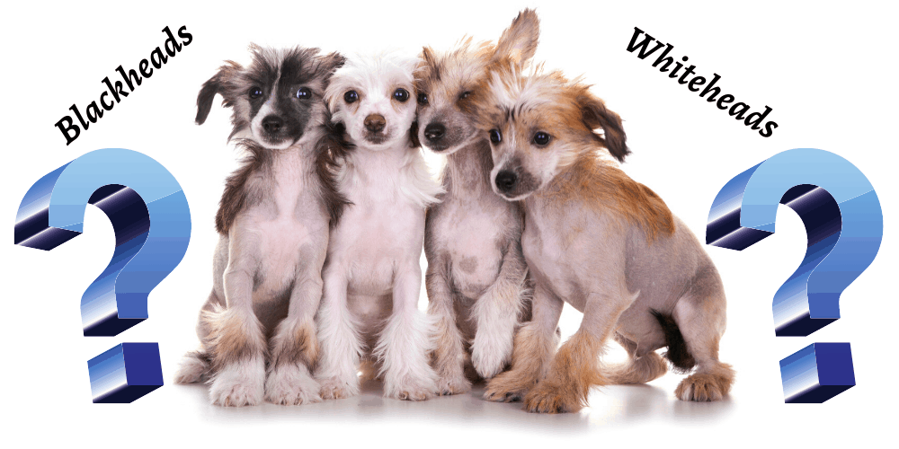 Do Chinese Crested Dogs Get Blackheads best featured image