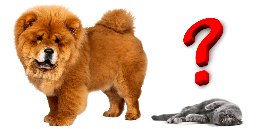 Do Chow Chows Get Along With Cats featured image