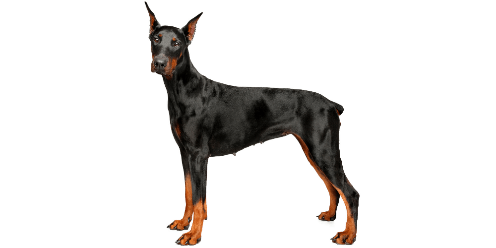 Doberman Pinscher dog breed photographed on white background