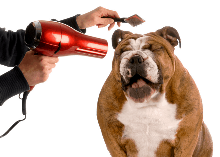 English Bulldog being groomed
