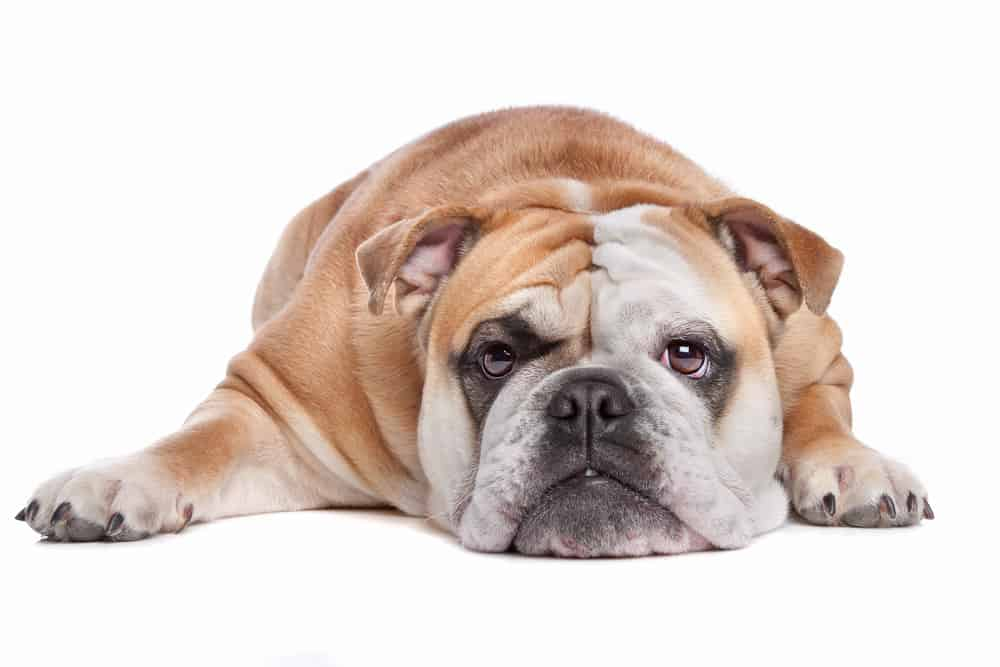 English Bulldog lying on a white background looking at the camera