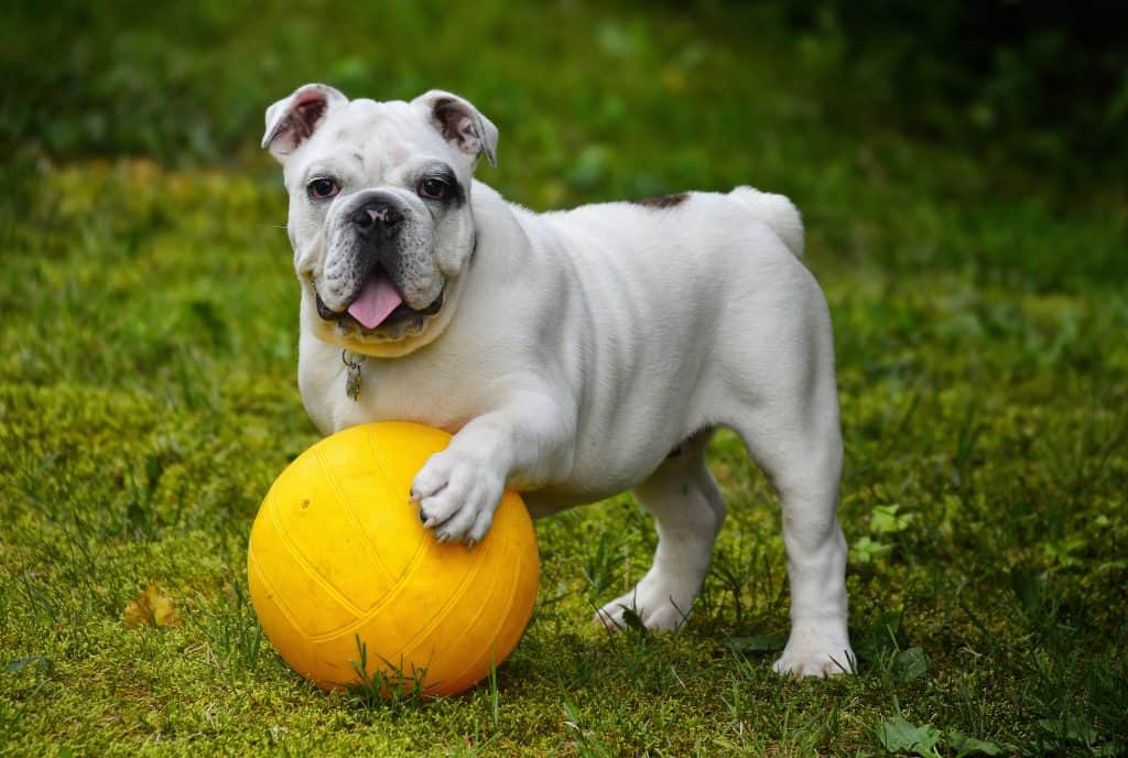 English Bulldog playing with a Ball