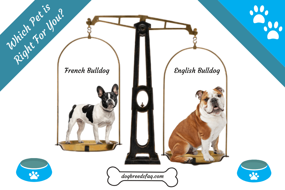 English Bulldog vs French Bulldog: Which is Better for You? 1