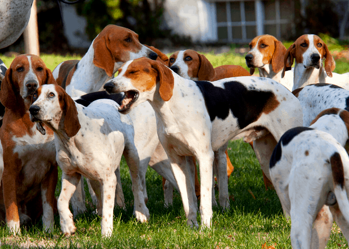 English Foxhound dogs in the farm