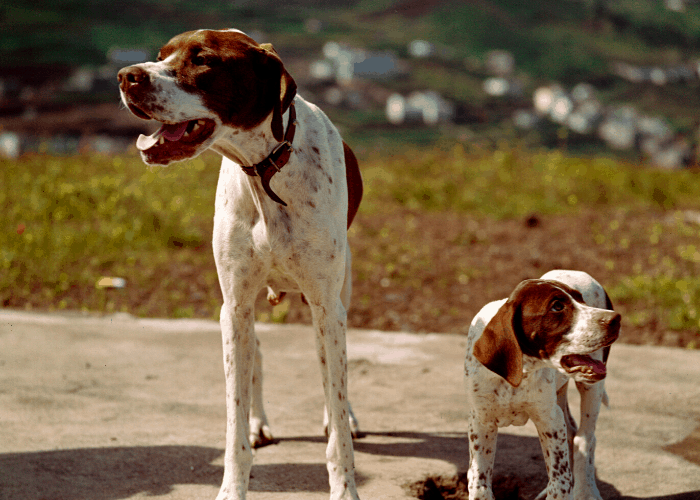 Mother and puppy English pointers