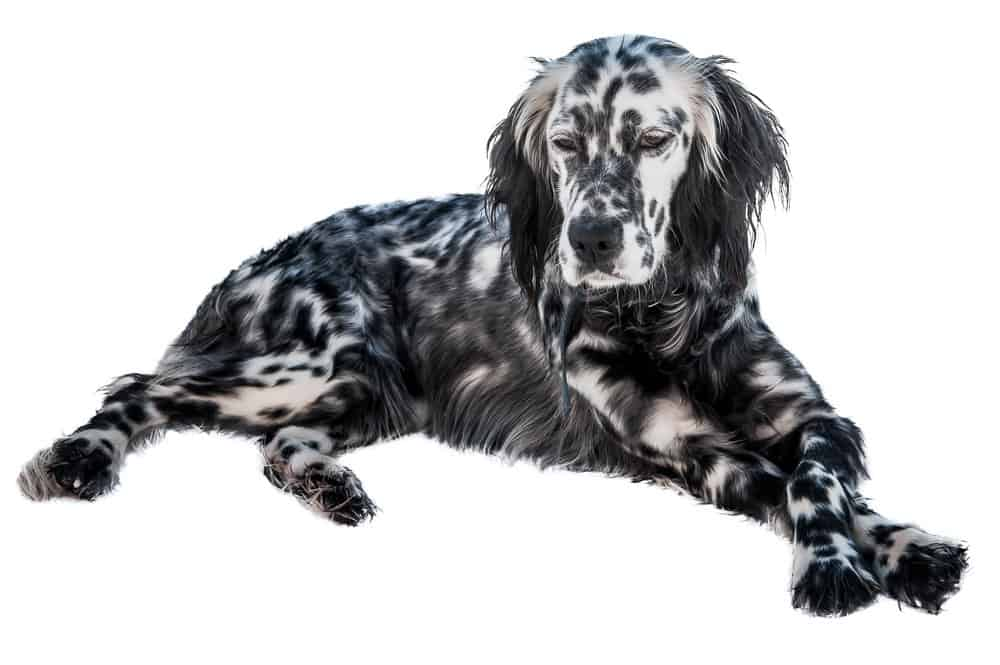 English Setter lying on white background