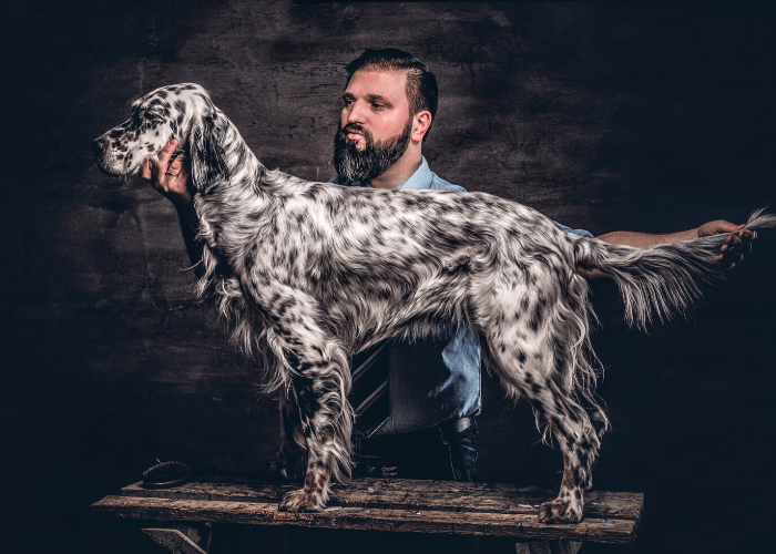 English Setter standing on the table with owner