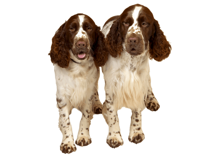 2 English Springer Spaniel photographed against a white background