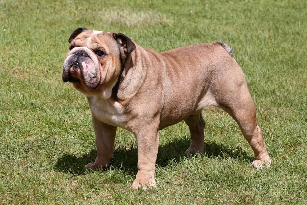 English bulldog standing on the lawn