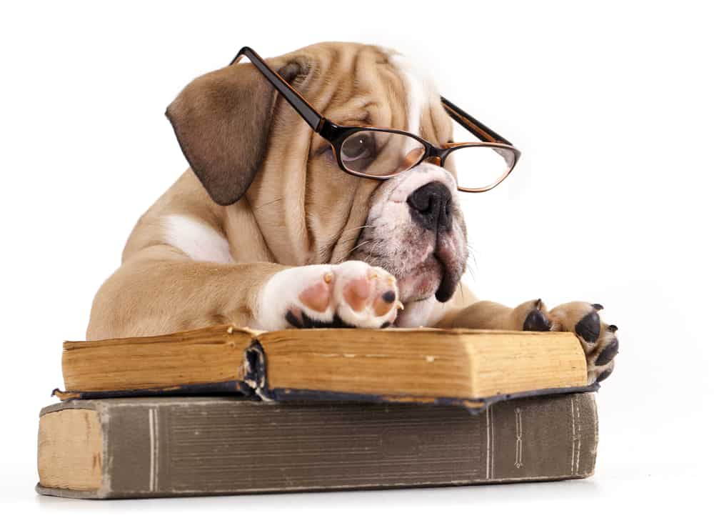 English bulldog wearing eyeglasses and reading a book